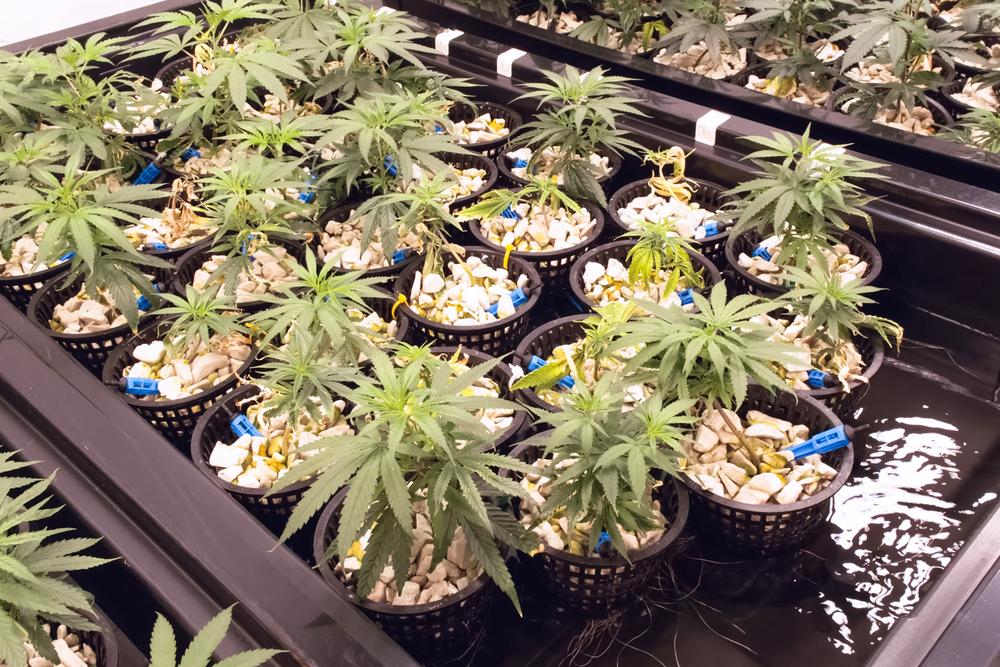 Hydroponics to Grow Marijuana